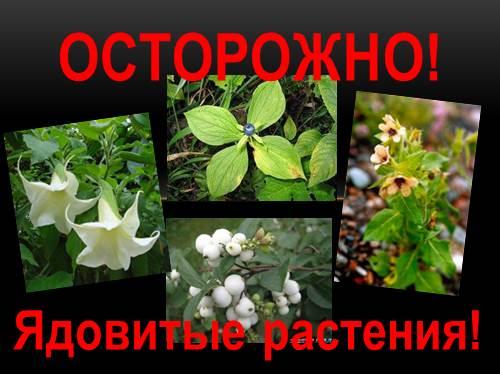 опасные растения костанайская области