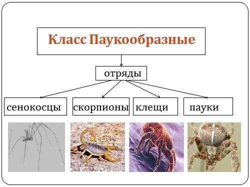Презентация класс паукообразные