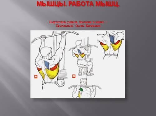 Мышцы, работа мышц