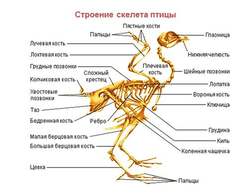 Опорнодвигательная система Птиц  урок Биология