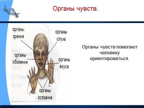 Презентация Организм человека Окружающий мир класс Органы чувств Органы чувств помогают человеку ориентироваться