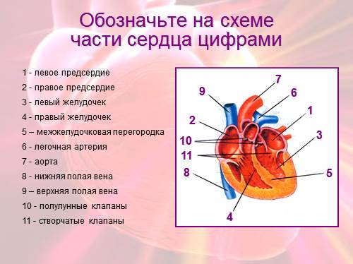 схеме части сердца цифрами
