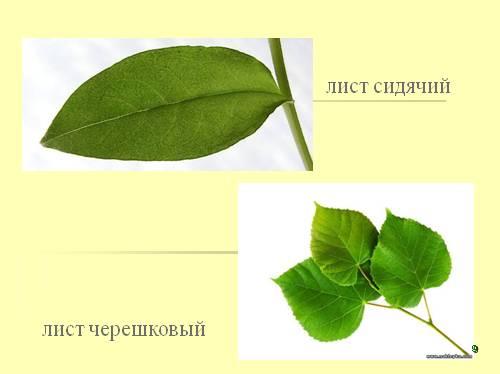 тип листа черешковый фото