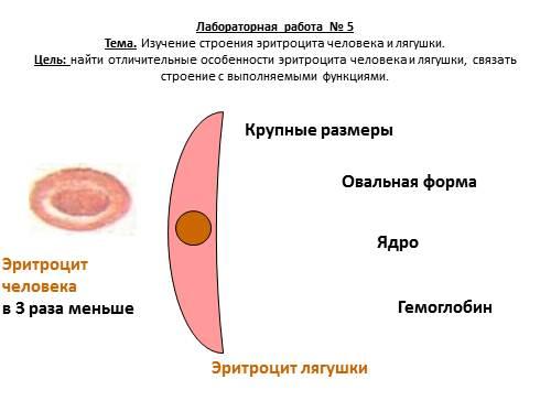 Строение эритроцитов связано с функцией