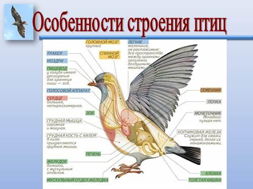 презентация по биологии внешнее и внутреннее строение птиц