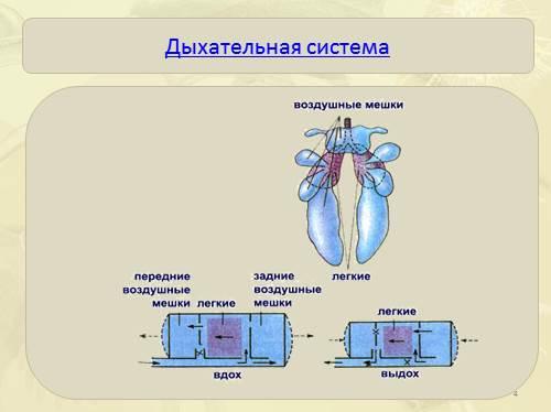 Строение дыхательной системы гуся