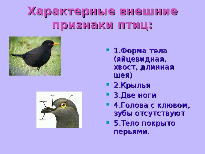 Презентация о классе птиц Характерные внешние признаки птиц 1 Форма тела яйцевидная хвост длинная шея 2 Крылья 3 Две ноги 4 Голова с клювом зубы отсутствуют