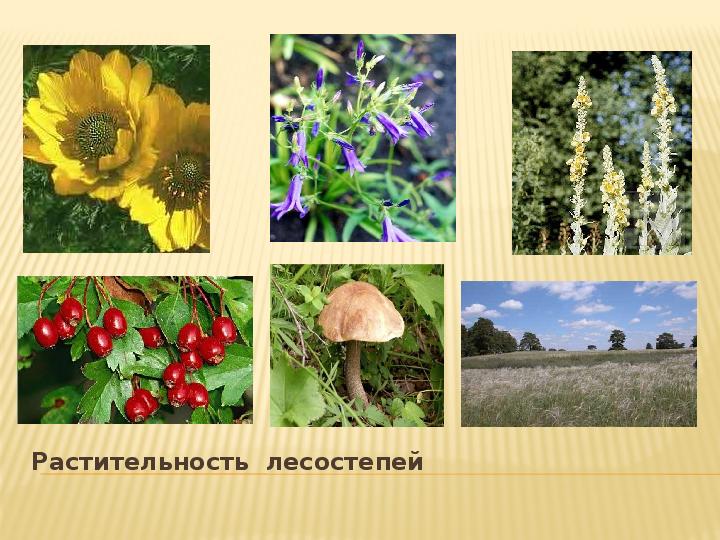 Картинки лесостепи растения