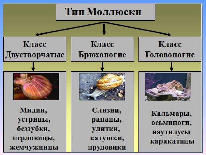 сообщение тип моллюски